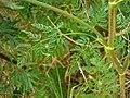Conium maculatum leaf (17).jpg