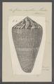 Conus vexillum - - Print - Iconographia Zoologica - Special Collections University of Amsterdam - UBAINV0274 086 08 0004.tif
