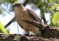 Cooper's Hawk with kill.jpg