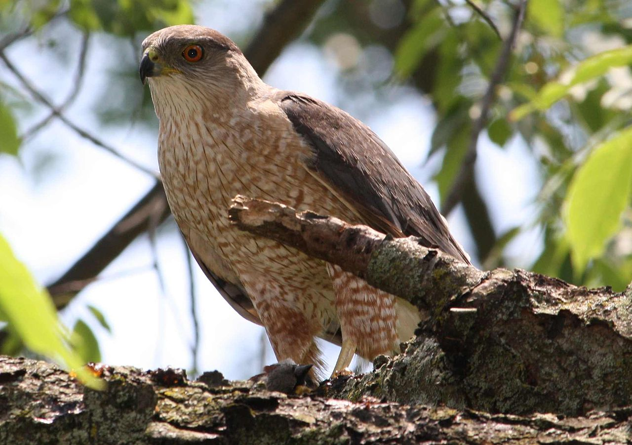 Image Result For Can Hawks Kill