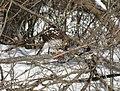 Cooper's hawk feeding on a blue jay 12.jpg