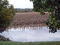 Corn filed - panoramio.jpg