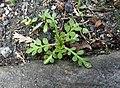 Coronopus didymum plant (04).jpg