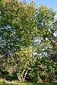 Corylus chinensis JPG1a.jpg