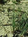 Corynephorus canescens 2019-03-30 8763.jpg