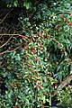 Cotoneaster 'Hybridus Pendulus' at Nuthurst, West Sussex, England.jpg