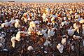 Cotton field kv27.jpg