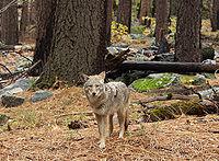 Kojot prériový