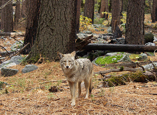 Coyote in forest
