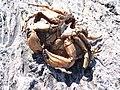 Crab at Marshall Point.jpg