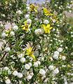 Creosote-bush Larrea tridentata flowers&seeds.jpg