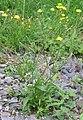 Crepis capillaris 2005.07.10 09.09.34.jpg
