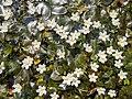 Crested floatingheart (Nymphoides hydrophylla ) 20181125 130817.jpg