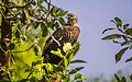 Crested honey buzzard.jpg