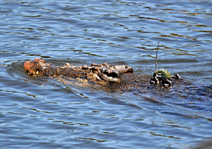 Telemetry - A saltwater crocodile with a GPS-based satellite transmitter attached to its head for tracking