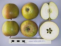 Cross section of Cockle Pippin, National Fruit Collection (acc. 2000-027).jpg