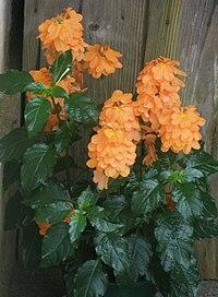 クロッサンドラの花