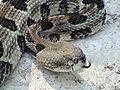 Crotalus horridus atricaudatus2.jpg