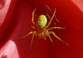 Cucumber Green Spider, Aaignée courge, Araniella cucurbitina, Lille, France, Lamiot 01.jpg