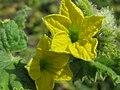 Cucumis melo - Диня - Квітка.jpg