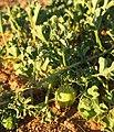 Cucumis myriocarpus fruit and foliage.jpg