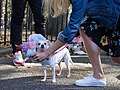 Cupcake and cotton candy dog costume adjustments (10740).jpg