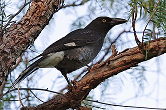 Pied currawong - Subspecies nebulosa Swifts Creek, Victoria