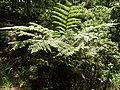 Cyathea nilgiriensis-2-mines-yercaud-salem-India.jpg