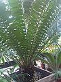 Cycadales - Encephalartos ferox - kew 2.jpg
