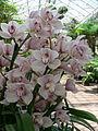 Cymbidium orchids2.jpg