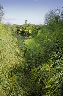 Cyperus papyrus-pjt3.jpg