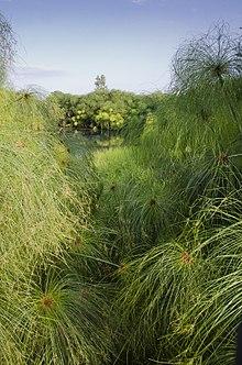 Cyperus Papyrus Wikipédia