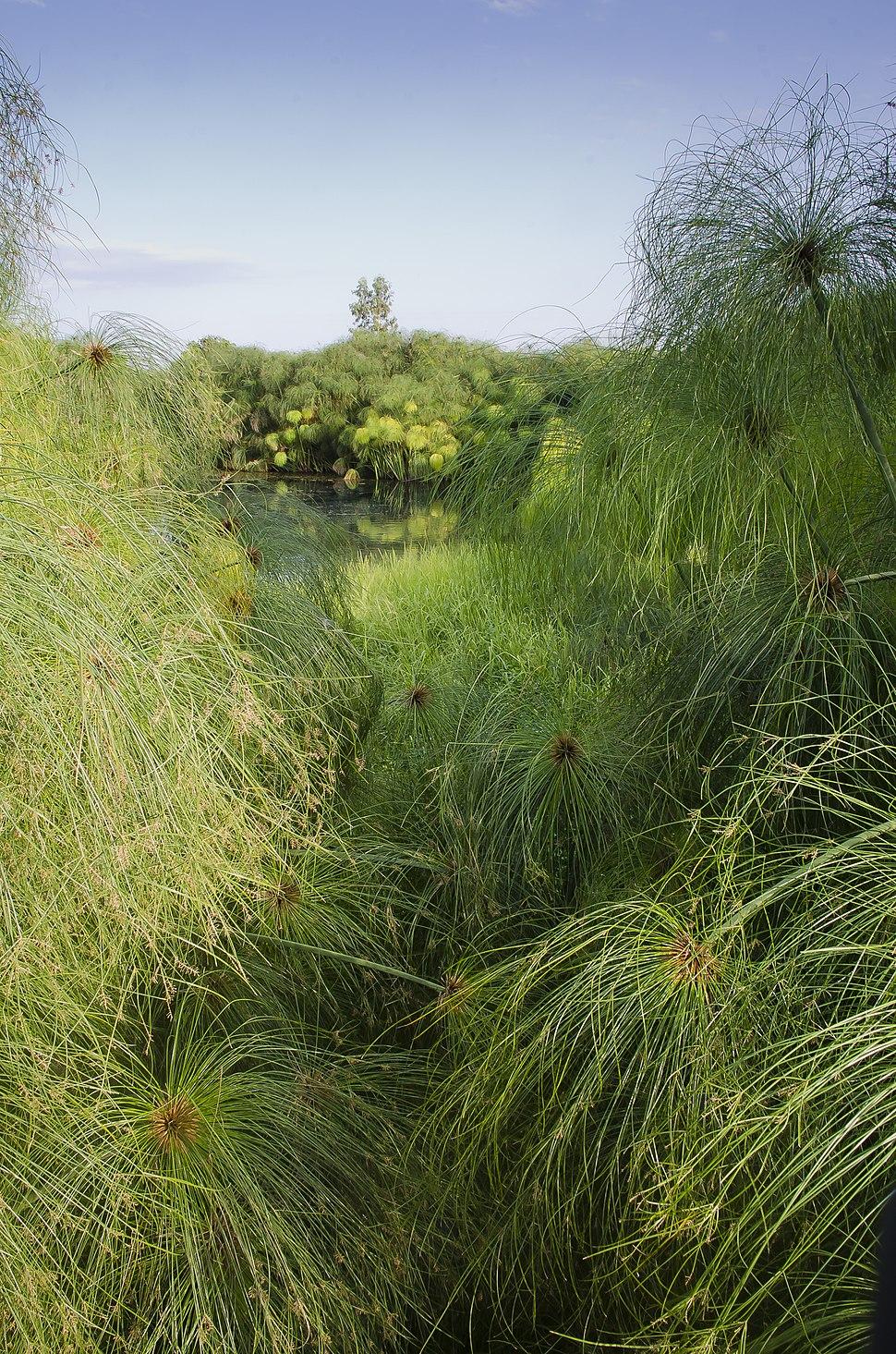 Cyperus papyrus-pjt3