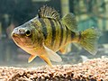 D3149-1. yellow perch (Perca flavescens).jpg