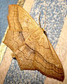 DSC09642 British Moths Small Blood-vein, Scopula imitaria.jpg
