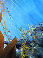 DSC28164, Leafy Sea Dragon, Monterey Bay Aquarium, Monterey, California, USA (8316405008).jpg
