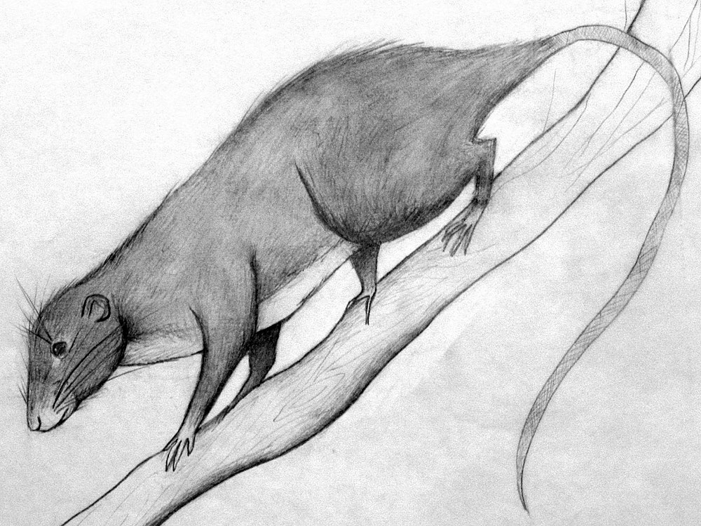 The average adult weight of a Amazon bamboo rat is 650 grams (1.43 lbs)