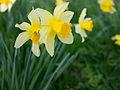 Daffodils (6866360536).jpg
