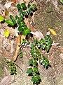 Damnacanthus indicus - Miyajima Natural Botanical Garden - DSC02358.JPG
