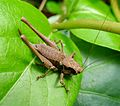 Dark Bush-cricket - Pholidoptera griseoaptera. - Flickr - gailhampshire (2).jpg
