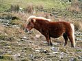 Dartmoor Pony With A Fright Wig.jpg