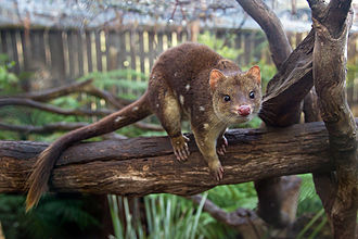 Nightcap National Park - Spotted-tailed Quoll (Dasyurus maculatus)