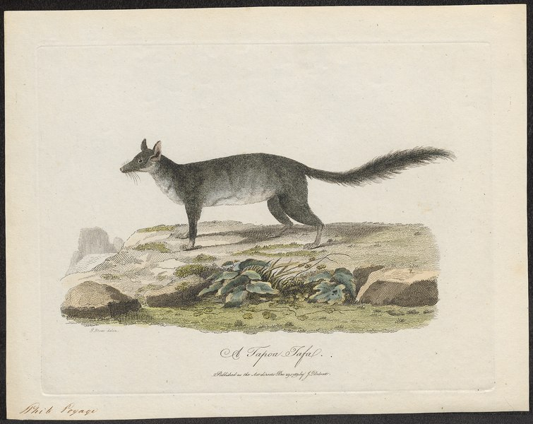 Dasyurus tafa - 1700-1880 - Print - Iconographia Zoologica - Special Collections University of Amsterdam - UBA01 IZ20300150