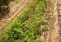 Daucus carota, Fryšták (2).jpg
