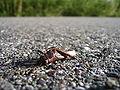 Dead grasshopper 2.jpg