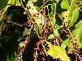 Deeringia amaranthoides fruit.jpg