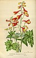 Delphinium nudicaule illustration.jpg