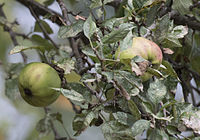 Demir elma - Local apple variety 02.jpg