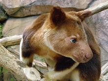 goodfellows tree kangaroo looking to the side