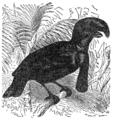 Descent of Man - Burt 1874 - Fig 40.png